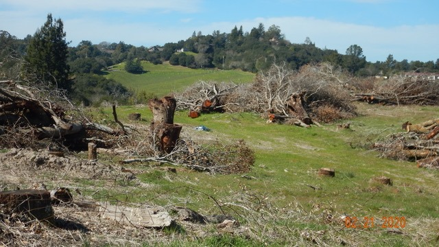 Destroyed oak trees